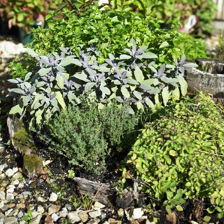 Collection of Herbs planted together in small garden bed Stock Photo