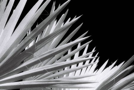 Black and White Infra Red image of Palm Fronds. Infra Red film has significant grain. Stock Photo