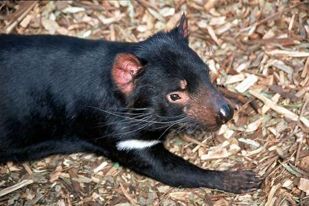 tasmanian: Tasmanian Devil (Harrisii Sarcophilus)