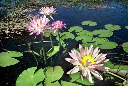 Scenic of expanse of Water Lilies