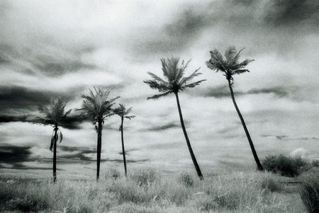 infra red: Black and White Infra Red image of large palms with dramatic, stormy sky(intentional grain)