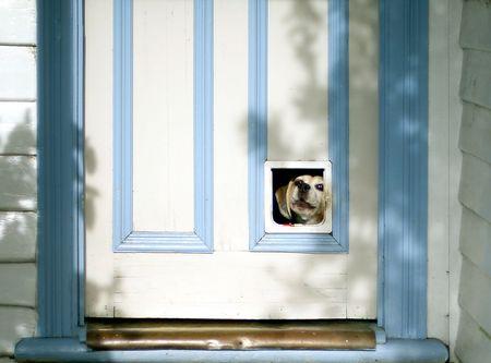 Beagle puppy looking through pet flap, in door