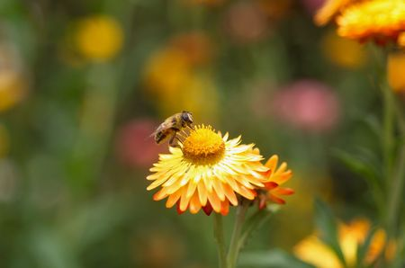 Honey Bee collecting pollen on Yellow Everlasting Daisy(Brachteantha brachteata), also commonly known as Paper Daisy photo