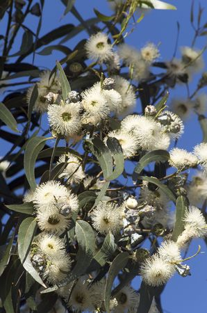 tasmania: Close up of Tasmanian Blue Gum in flower(Eucalyptus globulus), floral emblem of Tasmania Stock Photo