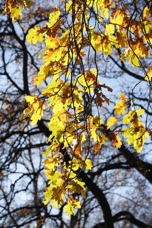 Golden Autumn leaves backlit by the sun light Stock Photo - 2549521