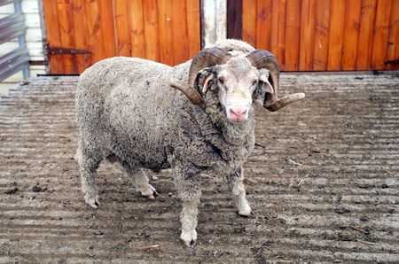 merino: A Saxon Merino Ram, famous for producing the best superfine wool in the world