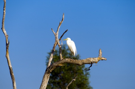 kakadu: White Egret bird sitting in a tree, Yellow Waters, billabong, Kakadu National Park, Northern Territory, Australia