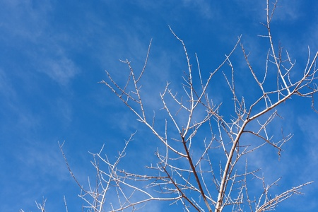 denuded: View of the branches of a dead tree againsta vibrant blue sky Stock Photo