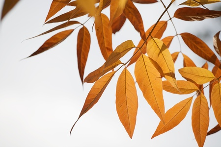 Beautiful Autumn leaves in golden tones of orange and yellow backlit by the sun Stock Photo - 11296194