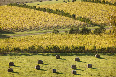 Beautiful scenic of vineyards in Autumn, Oyster Bay, Tasmania, Australia Stock Photo - 13656348