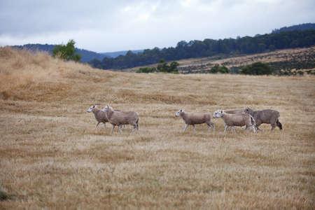 Sheep in a paddock, Tasmania, Australia photo