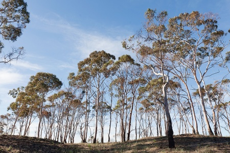 bushfire: Scenic of trees damaged by bushfire Stock Photo