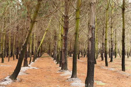 denuded: View of a Pine Plantation, with young trees Stock Photo