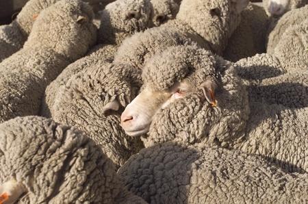 merino: Australian Merino sheep in pens outside of the shearing shed