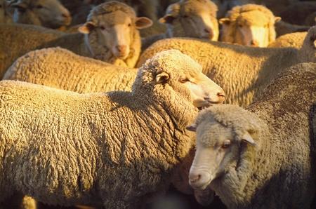 merino: Merino sheep inside shearing shed on Australian farm