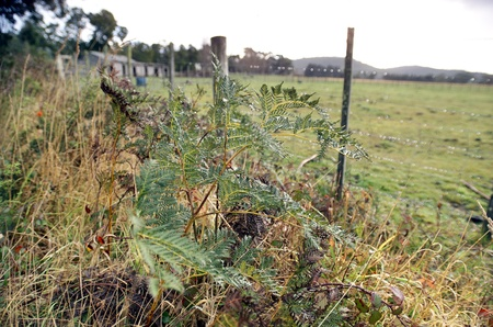 troublesome: Bracken fern, or bracken, is a native perennial fern found in open forest, or on cleared land where it can form extensive colonies and be a troublesome weed that is difficult to eradicate
