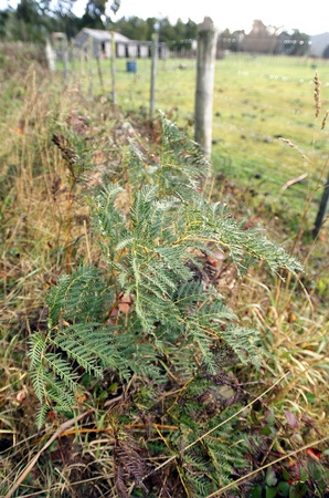 eradicate: Bracken fern, or bracken, is a native perennial fern found in open forest, or on cleared land where it can form extensive colonies and be a troublesome weed that is difficult to eradicate.