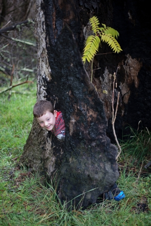 burnt out: Young boy playing in a burnt out tree poking his head through a hole in the tree trunk