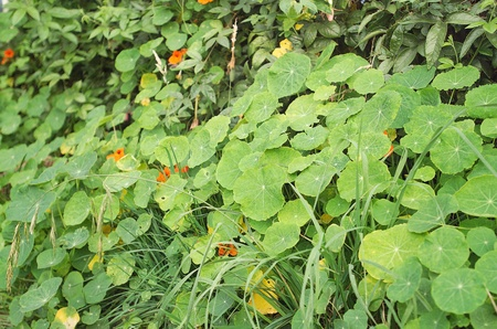 plants species: Nasturtium, is a genus of roughly 80 species of annual and perennial herbaceous flowering plants. Stock Photo