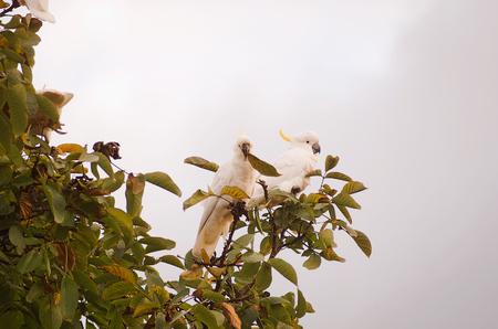 native bird: P�jaro australiano nativo Sulphur Crested Cockatoo alimentaci�n en un �rbol de la nuez