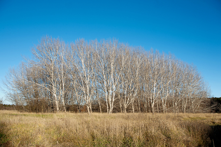 denuded: Stand of Trees in Winter with no foliage Stock Photo