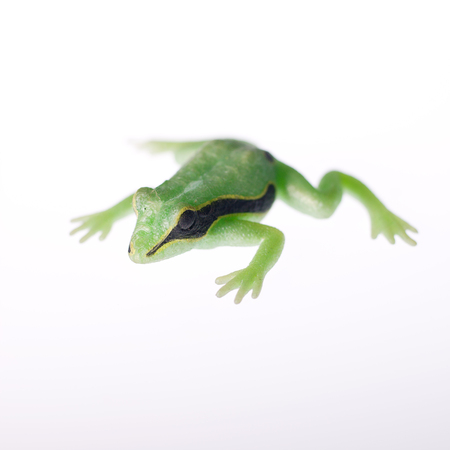 deliberate: Plastic green childs toy frog on white background, deliberate shallow depth of field