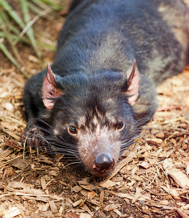 Close up of Tasmanian Devil(Sarcophilus harrisii) a carnivorous marsupial now found in the wild only on the Australian island state of Tasmania. photo