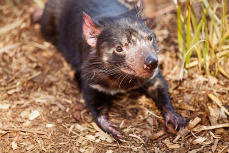 marsupial: Close up of Tasmanian Devil(Sarcophilus harrisii) a carnivorous marsupial now found in the wild only on the Australian island state of Tasmania. Stock Photo