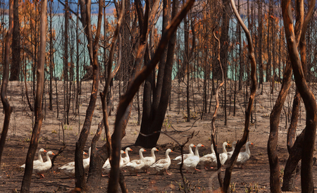 burnt out: Flock of domesticated Geese wander through burnt out bushland after a bushfire