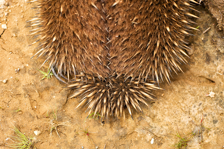 spikey: Australian Echidna, sometimes known as spiny anteaters, belong to the family Tachyglossidae in the monotreme order of egg-laying mammals. Stock Photo