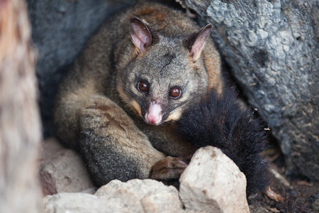 vulpecula: Common Brushtail Possum (Trichosurus vulpecula) sheltering in a hollow tree