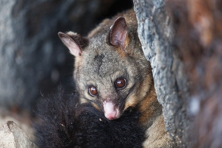 vulpecula: Common Brushtail Possum (Trichosurus vulpecula) sheltering in a hollow tree during a cold winter day, Tasmania