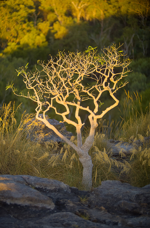 floodplain: Lone tree in late afternoon sunlight growing at Ubirr, East Alligator region of Kakadu National Park in the Northern Territory, Australia. It consists of rock outcrops on the edge of the Nadab floodplain