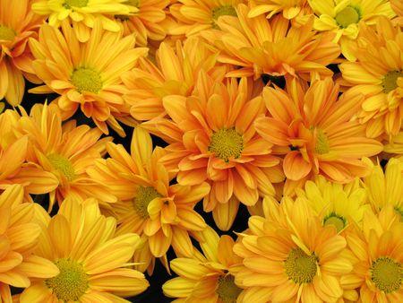 Chrysanthemums Stock Photo - 6999416
