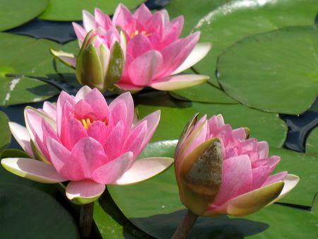 flor de loto: Lirios de agua  Foto de archivo