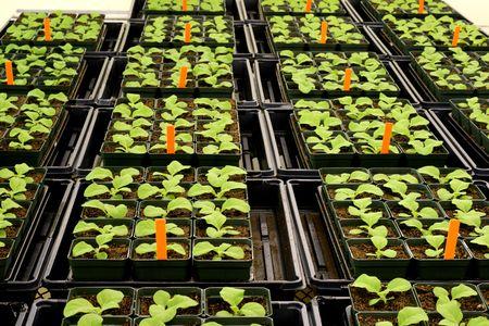 tobacco plants: Tobacco plants in greenhouse Stock Photo