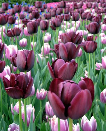 agricultural essence: Tulips Stock Photo