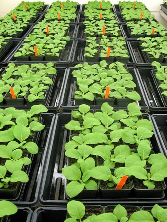tobacco plants: Young tobacco plants in greenhouse