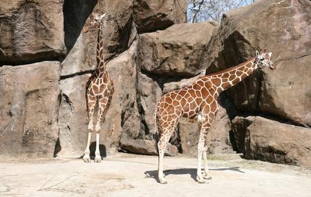 Giraffes photo