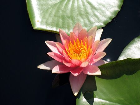 Water lily Stock Photo - 8458286