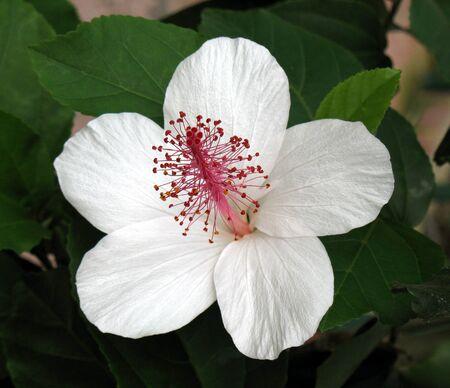 Chinese hibiscus photo