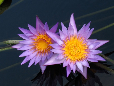 Water lilies Stock Photo - 9128310