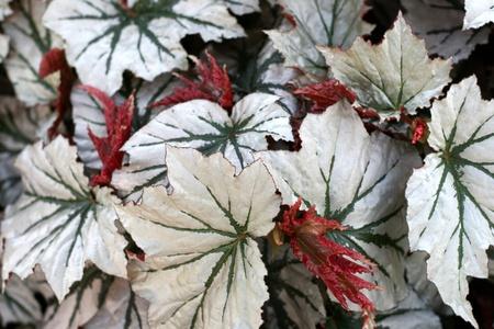 begonia: Begonia de alas de �ngel Foto de archivo