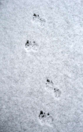 Dog tracks on snow photo