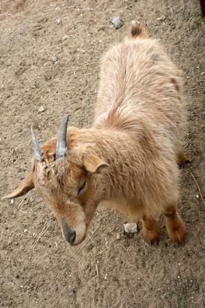 masticate: Goat