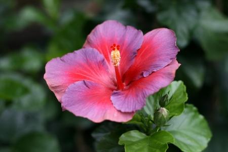 Chinese hibiscus Stock Photo