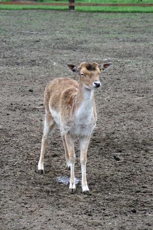 fallow deer: Fallow deer