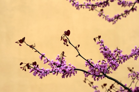 Cherry tree in spring photo