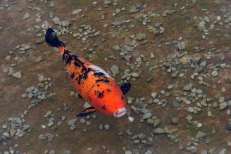 Decorative carp or koi in a pond Stock Photo - 10799678