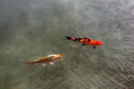 Decorative carp or koi in a pond photo